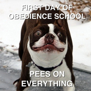 first-day-of-obedience-school-pees-on-everything