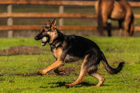 The black and tan bandersnatch! Wait no, sorry. GSD.
