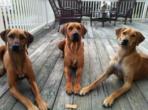 Pure. Torture.  (PURE TORTURE (Photo courtesy of Corey Turner, Semper Fidelis Rhodesian Ridgebacks)