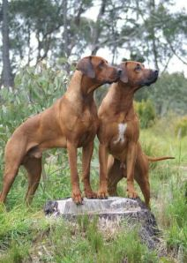 Photo courtesy of Vanessa Macgill, Mikozi Rhodesian Ridgebacks